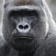 verre Gorilla Glass